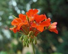 CH_geranium