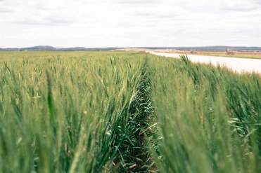 countryhorizons_bvmarkets_wheatrows